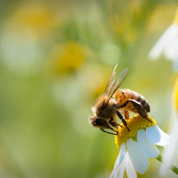 Bee gathering pollen on a flower