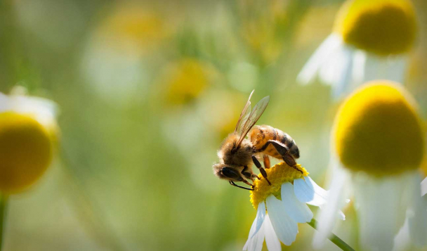Close up of a bee collecting pollen from a flower