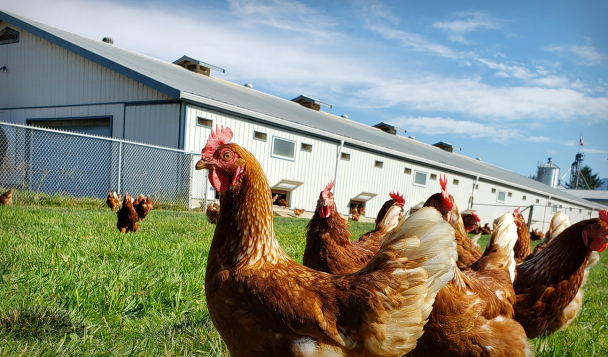 Free roaming hens on a farm in British Colombia